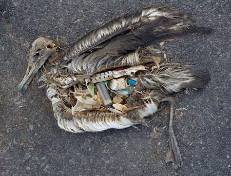 Les effets du plastique sur les oiseaux marins