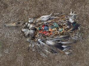Les effets néfastes du plastique sur les oiseaux marins