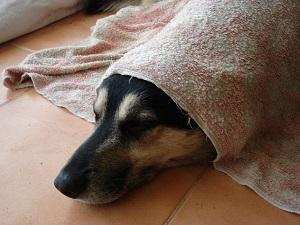 coup de chaud chien