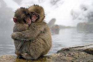 Macaque japonais One Life
