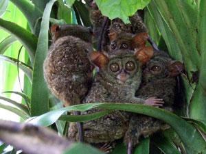 Famille de tarsiers