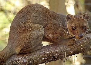 Le Fossa, le plus étrange des prédateurs de Madagascar