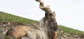 Le Markhor, la chèvre aux grandes cornes