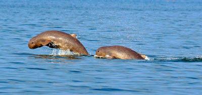 dauphin de l'irawadi - Animaniacs