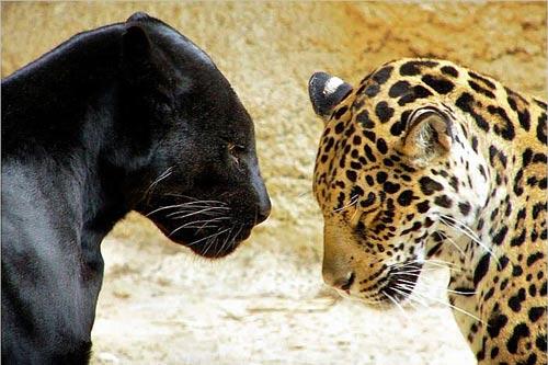 leopard panthère même animal