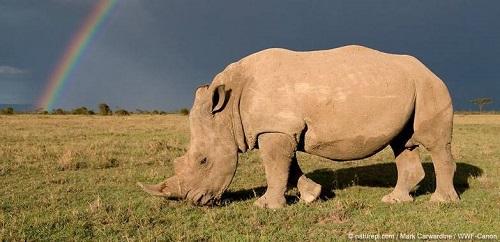 rhinoceros protegé