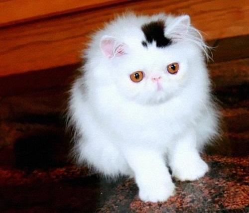 chat chapeau