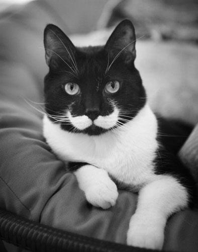 Chat moustache