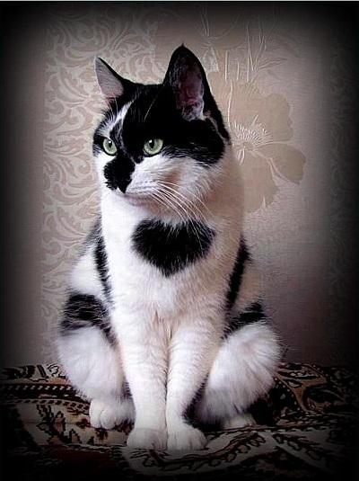 chat avec une tache coeur