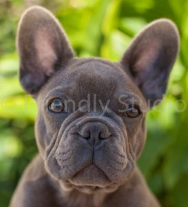 photo bouledogue