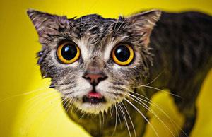 photos de chats mouillés