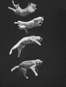 pourquoi les chats retombent toujours sur leurs pattes