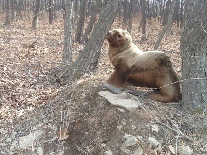 Bébé lion de mer perdu