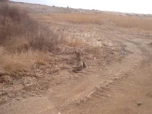 lion des mers perdu