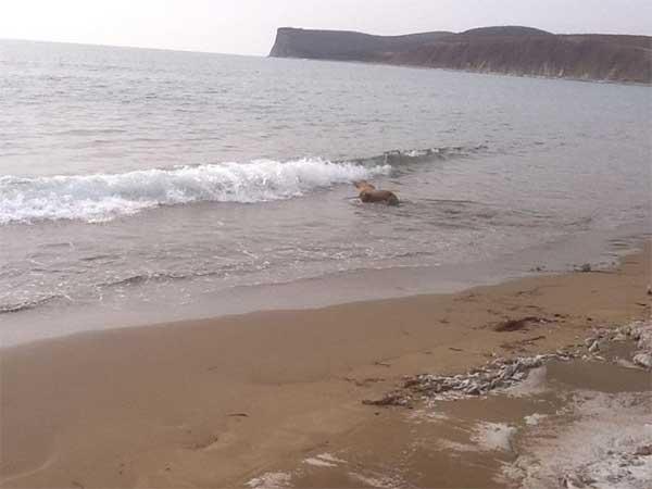 lionvdes mers retourne dans l'eau