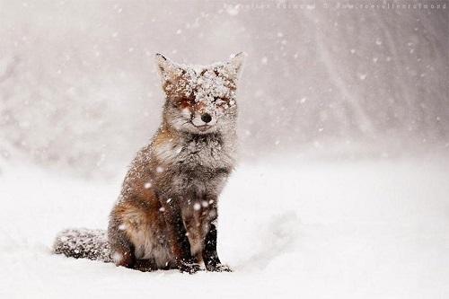 magnifique renard