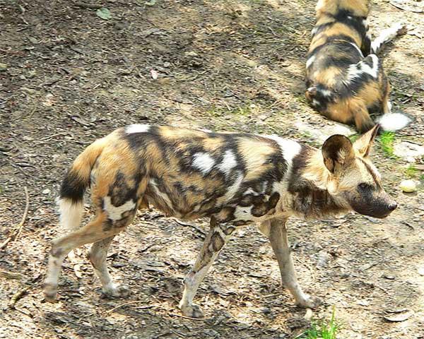 Chiens hyènes