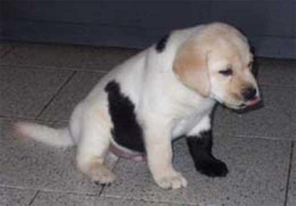Chiot labrador