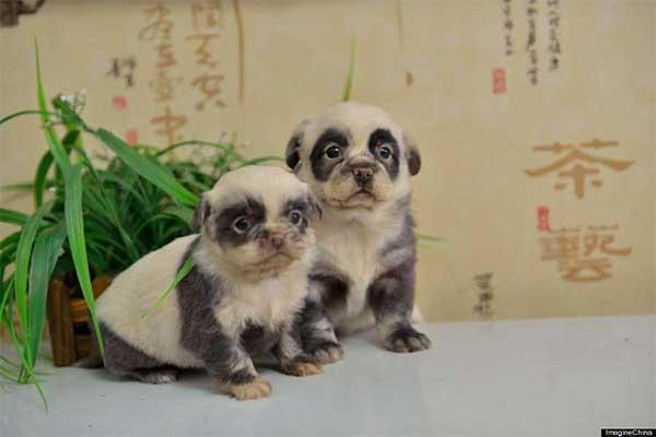 Chiots panda