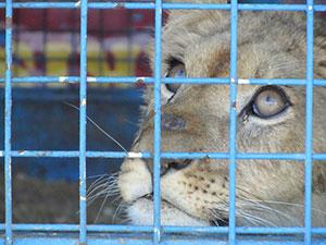 lionceaux en cage