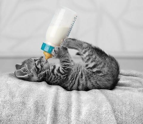 Comment nourir un chaton