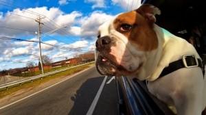 ùal de transport chez le chien