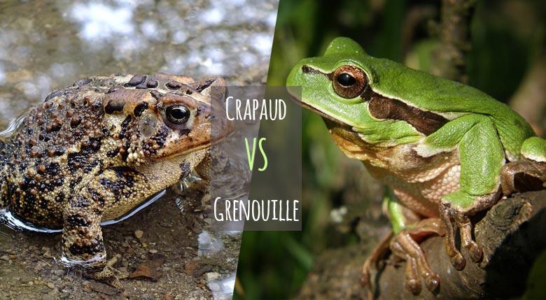 Crapaud VS Grenouille