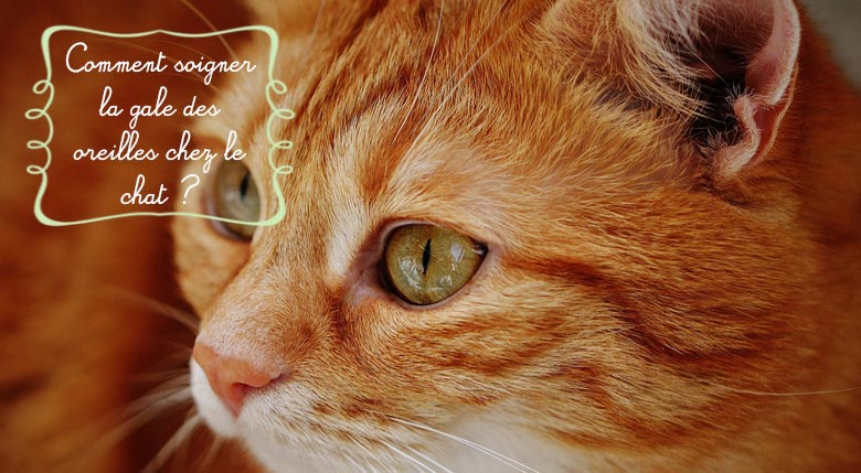 Soigner la gale d'oreille chez le chat