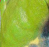 peau de grenouille