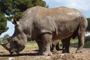 Rhinocéros dans la forêt de Payeng