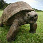 Jonathan, la plus vieille tortue géante du monde