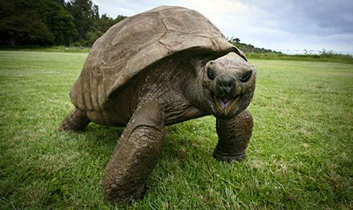 vieille tortue geante