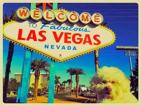 Cerbero à Las Vegas