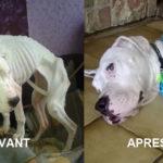 Un dogue argentin retrouvé attaché sans eau ni nourriture