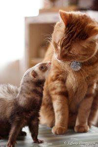 Furet avec un chat