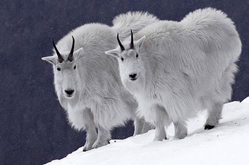 animaux jumeaux