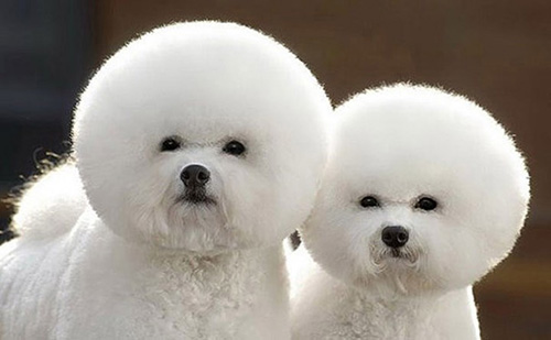 bichons jumeaux