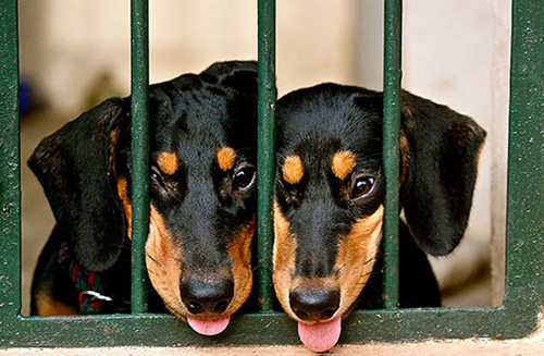chiens jumeaux