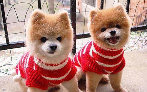 chiots roux jumeaux