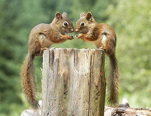 ecureuil jumeaux