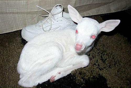 faon albinos