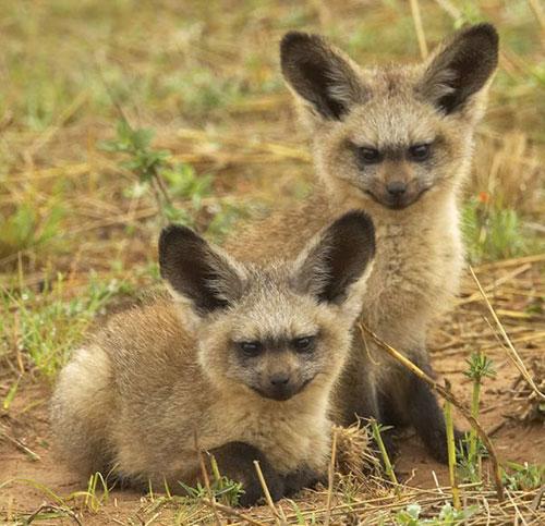 foxes jumeaux