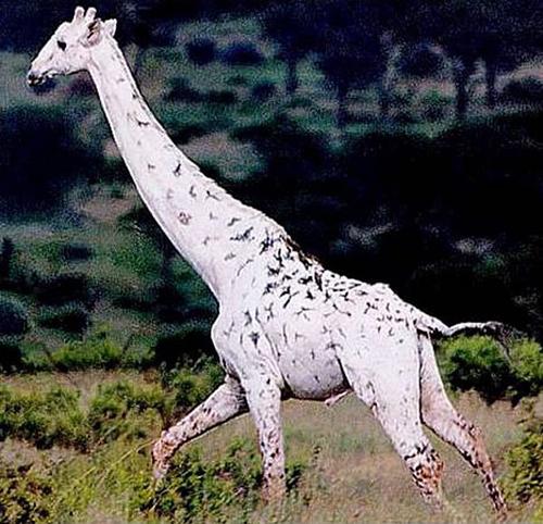 girafe albinos