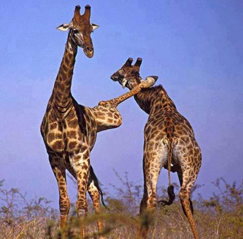 girafe ninja