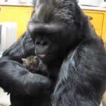 Vidéo : Un Gorille rencontre des chatons
