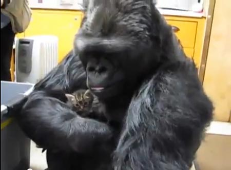 gorille chaton
