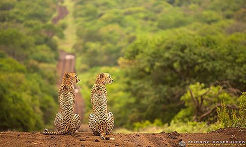 guepards jumeaux