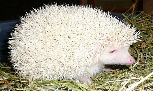 herisson albinos