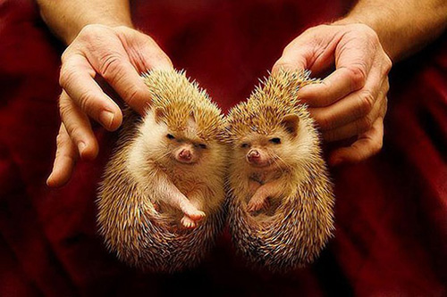 herissons jumeaux