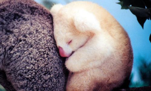 koala albinos